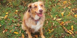 australian shepherd not eating why dogs eat stool eating coprophagia in dogs ottawa dog