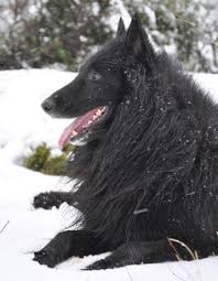 belgian shepherd ohio belgian shepherd u003c3 puppies pinterest animals and pets