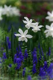 best 25 grape hyacinth flowers ideas on pinterest grape