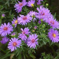 Daisy The Flower - 27 best zone 5 perennial garden images on pinterest perennial