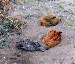 backyard chicken blogs backyard chickens archives u2014 page 2 of 3 u2014 bless this mess