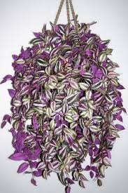 Low Light Indoor Flowers Best Low Light House Plants Wandering Jew Low Lights And