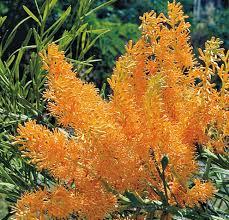 west australian christmas tree wildflowers wildflower seeds