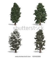 cedar trees isolated on white stock illustration 619463606