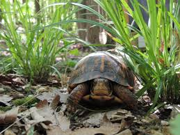 tips for helping turtles the wildlife center of virginia