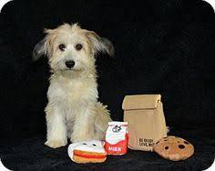 adopt a australian shepherd 6 7 17 fort collins co sheltie shetland sheepdog australian