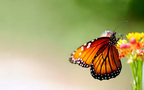 colorful butterfly with flower wallpaper 2505 wallpaper themes