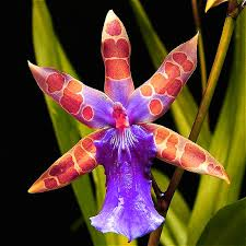 Orchid Plants 100 Grains Rare Butterfly Orchid Seeds Flower Seeds Indoor Potted