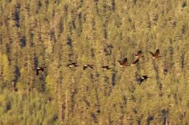 thanksgiving 2012 canada geese pemberton bc by stu armstrong