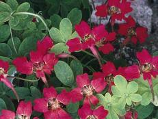 Fragrant Climbing Plants - climbing plants for fragrance fragrant plants hgtv
