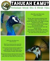 merak biru images tagged with javanpeacock on instagram