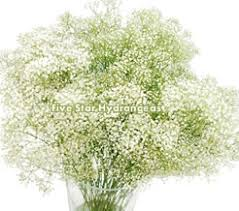 Bulk Baby S Breath Bulk Baby U0027s Breath Filler Flower At Wholesale Prices