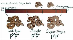 reptile breeding genetics part 5 supers incomplete and