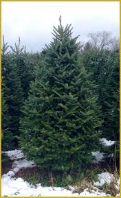 real christmas trees delivered fresh cut fraser fir christmas