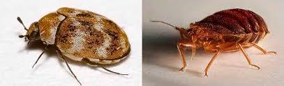 Biscuit Beetle In Bedroom How To Get Rid Of Carpet Beetles Top 7 Best Sprays Traps And Powders