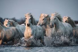 camargue white horse wallpapers 27 7 running horses backgrounds hq demi bowley