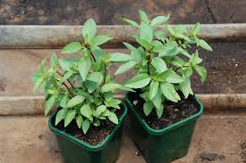 indoor herbs to grow 10 indoor plants that you can grow in your house right now the