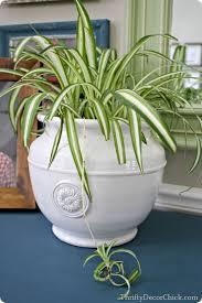16 best houseplants spider plants images on pinterest indoor