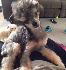 bedlington terrier shaved entertaining a new clip for my tpoo poodle forum standard