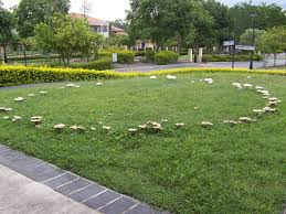 Types Of Garden Fungus - fairy ring wikipedia