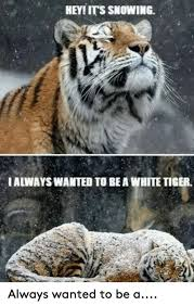 Grumpy Cat Snow Meme - hey its snowing ialwayswanted to bea white tiger always wanted to
