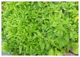 the basil herb is a culinary delight to grow in your garden or indoors
