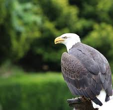 bald eagle free pictures pixabay