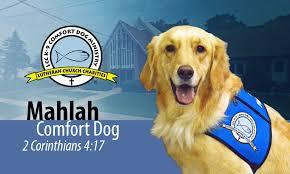 Comfort Golden Comfort Dog Ministry Our Savior Lutheran Church