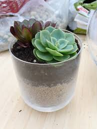 succulents meaning diy potting succulents u2014 pearson projects