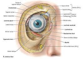 Surface Anatomy Eye Duke Anatomy Lab 20 Eye U0026 Ear
