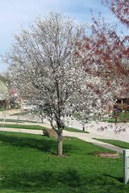 enjoy flowering pear trees from afar