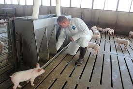let your pigs tell you if your grow finish barns are ready for