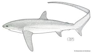 pelagic thresher shark u2013 alopias pelagicus fish