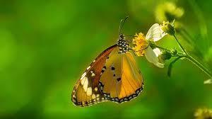butterfly plain tiger hd wallpapers for desktop wallpapers13 com