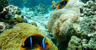 clownfish could be harder to find due to global warming study says