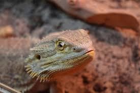 bearded dragon shedding pogopogona