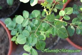 buy moringa trees buy sacramento moringa trees northern california