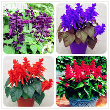 salvia flower multicolor salvia splendens seed flower perennial bonsai