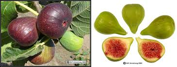 Fig Flower - figs of the holy land