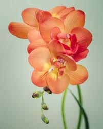 freesia flower freesia flower photography print by allison trentelman