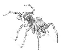 drawn spider jumping spider pencil and in color drawn spider