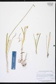 native south florida plants allium canadense species page isb atlas of florida plants