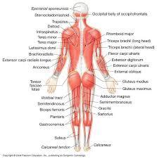 Back Knee Anatomy Low Back Muscles Anatomy Human Anatomy Chart