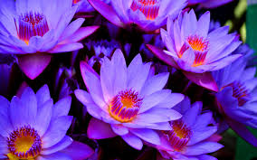 Blue Flower Backgrounds - lotus flower wallpapers 83