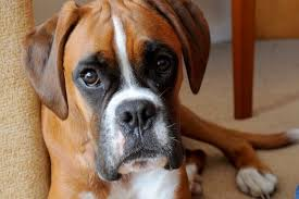 boxer dog xmas sickening pictures of poorly boxer show the danger of dogs eating