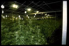 Greenhouse Lights How To Grow Weed In A Greenhouse How Many Lights Do You Need