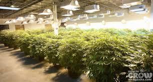 Plants To Grow Indoors How To Grow Marijuana Indoors