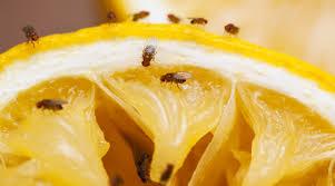 petites mouches cuisine protection contre les mouches du vinaigre gvb infomaison