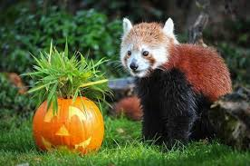get in the halloween spirit chester zoo u0027s animals get in the halloween spirit liverpool echo
