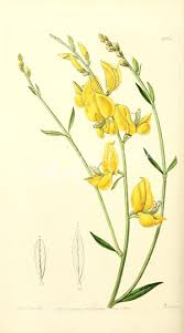plants native to spain best 25 spanish broom ideas on pinterest seed pods seeds and